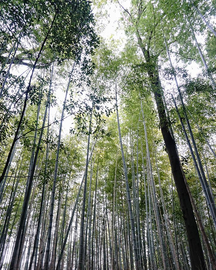 Bamboo Looking Up