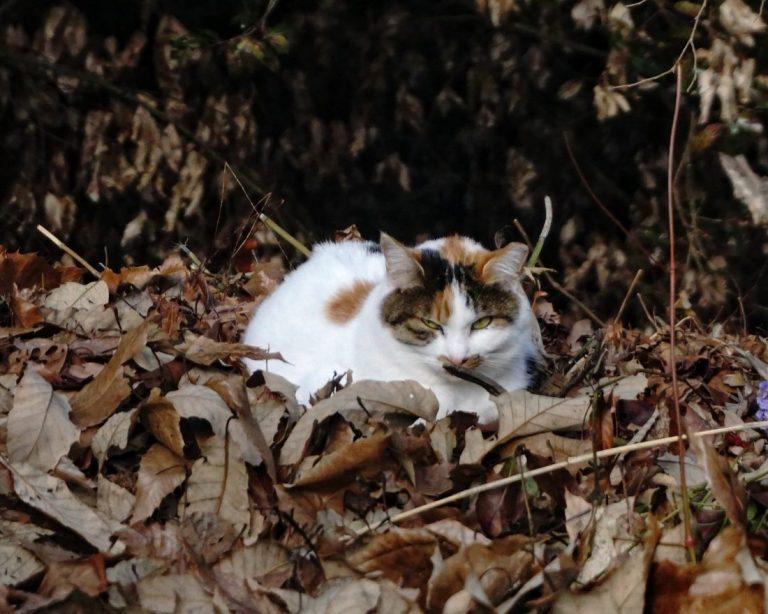 Inari Cat